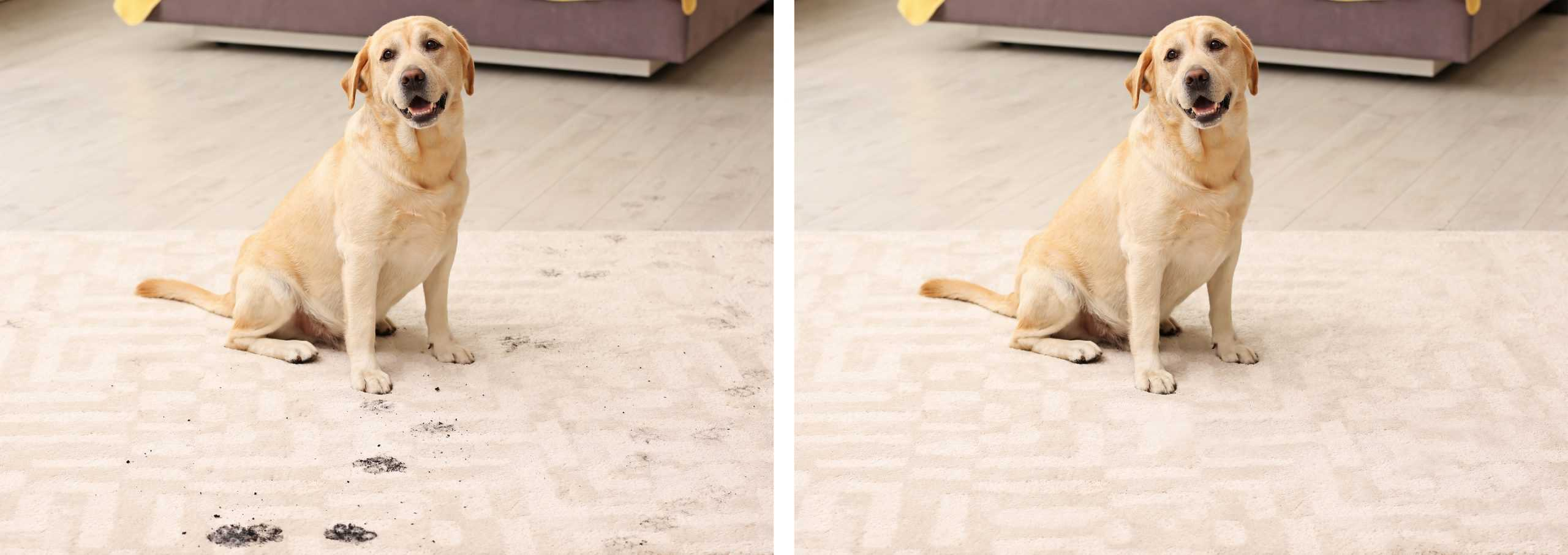 dirt pet poop stain removal carpets clean company denton texas tx professional